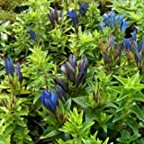 lichtnelke - Sommer - Enzian (Gentiana septemfida) Sommerenzian