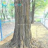 Green Seeds Co. 20 stücke Goldene Mimose pflanzen Seltene SchÃne Akazie Gelb Wattle Baum Pflanzen Hausgarten Blume pflanzen Edlen Bonsai Geschenk bonsai: Pflaume