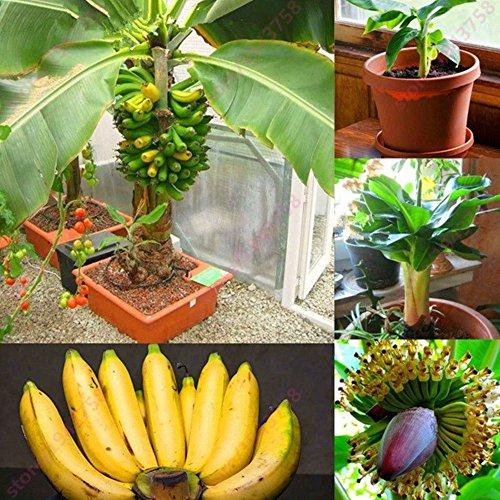 Seltene Zwerg Bananenstauden Samen Mini Banane Bonsai Samen Exotische Pflanzen Bonsai Milchgeschmack Obst Samen – 100 stücke