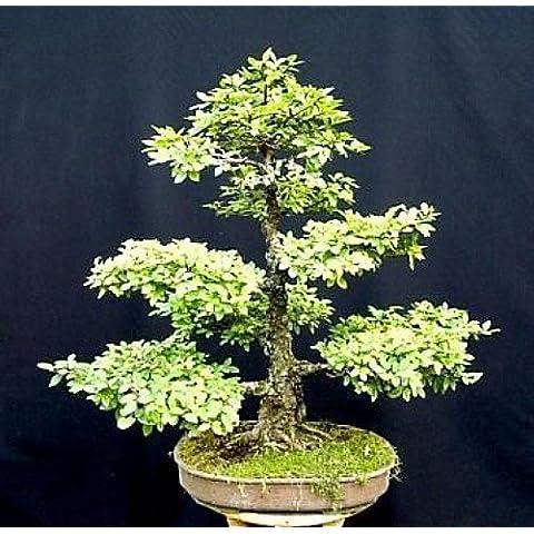 Chinese Elm Bonsai 25 Seed/Seeds - Ulmus parvifolia by Hirt's Gardens