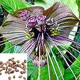 FERRY HOCH KEIMUNG Seeds Nicht NUR Pflanzen: Typ1: 20 / 50PcsGarden Balkon Schöne Bonsai Fledermausblume Bat Rlwh 01