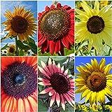 Sonnenblumen Mix - 6 Arten - je 10 Samen - Höhe : bis zu 3,50 m - sortenrein verpackt !!
