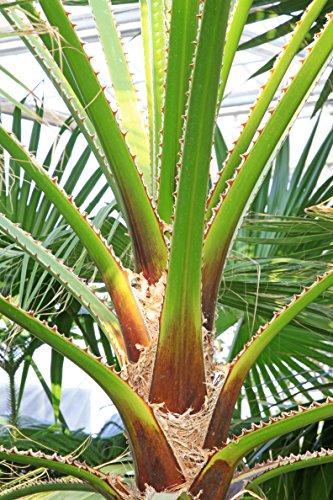Palme - Chinesische Schirmpalme - Livistona Chinensis - verschiedene Größen (180+cm - Stamm 30-40cm - Topf Ø 40cm)