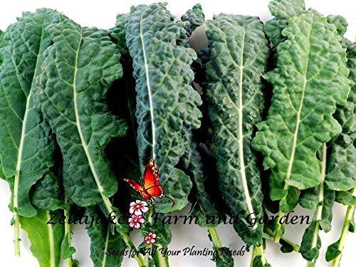 kale lacinato semi 400 a 5lb bulk nero insalata microgreen facile # 291
