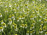 Asklepios-seeds - 2000 Bio Samen/Saatgut, Echte Kamille, Matricaria recutita (Chamomilla), Bio Zert.