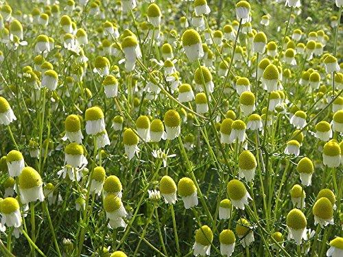 Asklepios-seeds® - 2000 Bio Samen/Saatgut, Echte Kamille, Matricaria recutita (Chamomilla), Bio Zert.