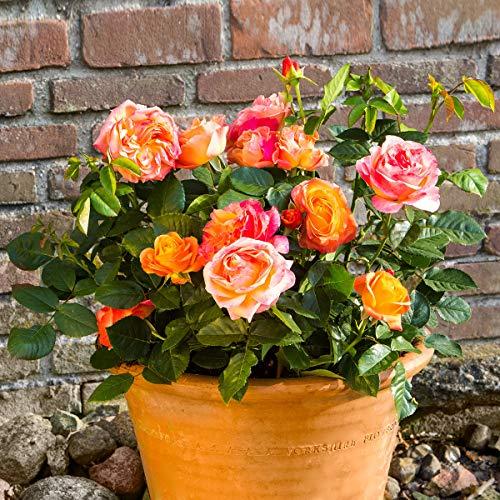 Qulista Samenhaus - 50pcs Rarität Strauchrose Pretty Kiss® 2-farbig, XL-Qualität, Beetrose Sweet Pretty Öfterblühend Bodendeckerrose Blütenmeer Blumensamen winterhart mehrjährig