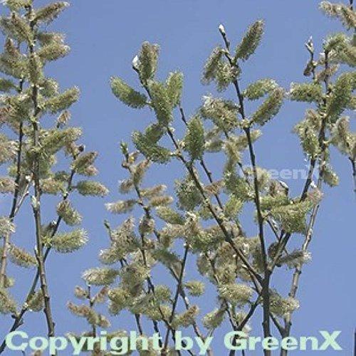 Salweide 60-80cm - Salix caprea