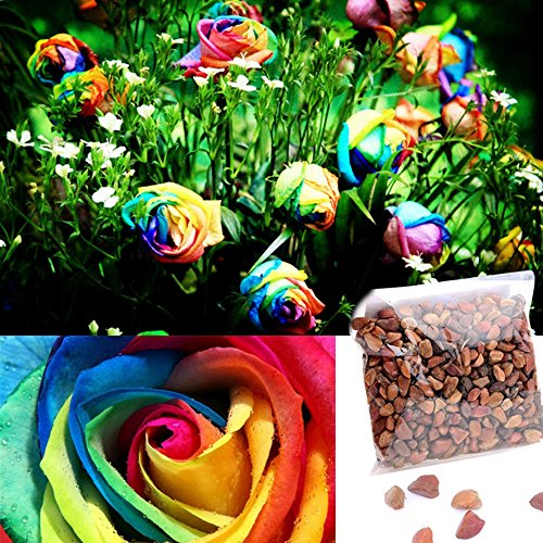 Ncient 500pcs Graines Semences de Roses Multicolore Couleur Arc-en-ciel Graines Fleurs à Planter Plante RareJardin Balcon