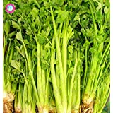 100PCS raras semillas de color rojo apio orgánicos semillas vegetales comestibles Bonsai Las plantas de jardín buenos para la presión arterial buen gusto