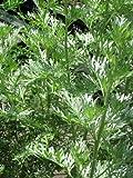 Staudenkulturen Wauschkuhn Artemisia absinthium - Absinth - Staude im 9cm Topf