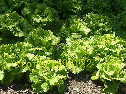 200 graines de laitue rares NO-OGM GRAINES héritage VÉGÉTALES maison jardin plantation croissance rapide