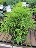 Chamaecyparis pisifera Golden Mop - Fadenscheinzypresse Golden Mop