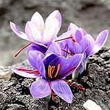 Vivai Le Georgiche Zafferano (Crocus sativus) (10 BULBI)