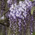 Japanischer Blauregen Wisteria Blue Dream 60-100 cm von VDG-KL-Baumschule auf Du und dein Garten