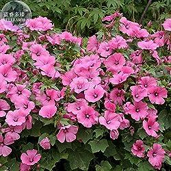 Pinkdose2018 Heißer Verkauf Davitu Lavatera arborea Baum Malve Blumensamen, 30 Samen, SchÃne Ziergarten Große Blumen