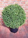 Buchsbaum Kugel, Durchmesser: 70-80 cm, Buxus sempervirens + Dünger
