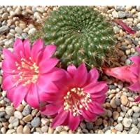 Rebutia violaciflora seeds