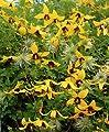 Clematis Golden Tiara®, gelb, 1 Pflanze im 12 cm Topf von Dominik Gartenparadies bei Du und dein Garten