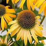 Sonnenhut, Echinacea , 'Harvest Moon ®'