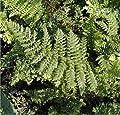 Weicher Schildfarn - großer Topf - Polystichum setiferum von Baumschule - Du und dein Garten