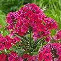 lichtnelke - Flammenblume (Phlox) Twinkle 'Cerise' von Lichtnelke Pflanzenversand - Du und dein Garten