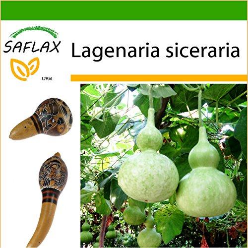 SAFLAX - Afrikanische Riesenkalebasse - 15 Samen - Mit Substrat - Lagenaria siceraria