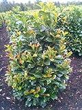 immergrüner Kirschlorbeer Prunus laurocerasus Etna -R- 80 - 100 cm hoch und 80 cm breit Solitär im 12 Liter Pflanzcontainer