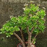 20Pcs / Sac Crassula Graine d'Ovata Crassula Oblique 'Gollum Plantes de Plantes...
