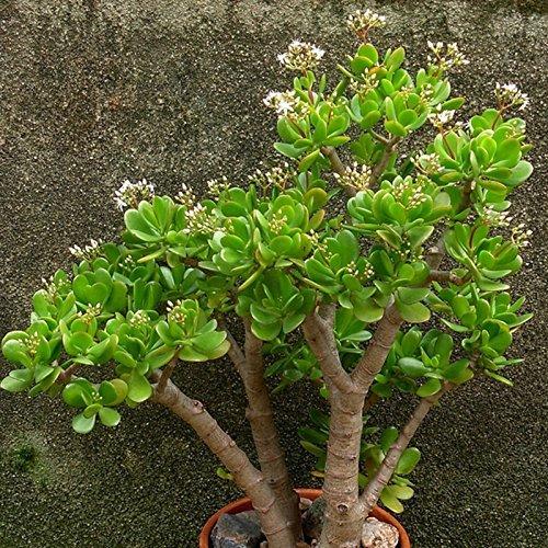 20Pcs / Bag Crassula Ovata Samen Crassula Oblique 'Gollum Indoor Laub Pflanzen Miniatur Topfpflanzen Samen Sukkulenten Pflanzen