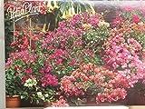 Bougainvillea, Drillingsblume, Topfpflanze (Rot)