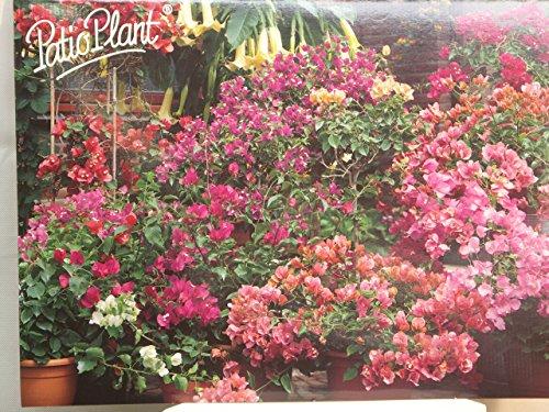 Bougainvillea, Drillingsblume, Topfpflanze (Violett)