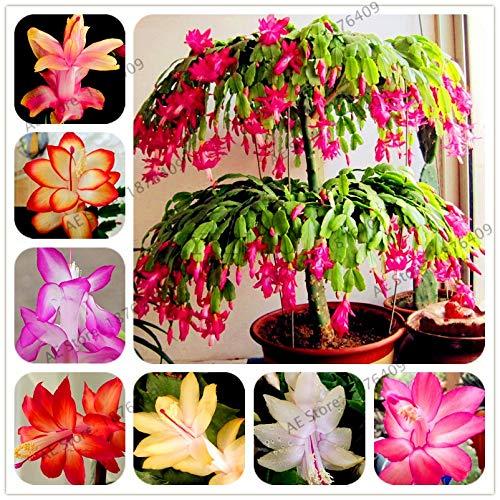 pinkdose 100pcs / bag schlumbergera flores plantas di cactus di natale, piante bonsai per la casa e il giardino, il colore misto, facile da piantare: mix