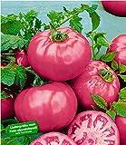 BALDUR-Garten Veredelte Fleisch-Tomate'Fuji Pink', 2 Pflanzen Tomatenpflanze