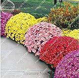 100pcs/bag Bodendeckend Chrysantheme Samen, Chrysantheme ausdauernde Bonsai Blumensamen Gänseblümchen Topfpflanze für Hausgarten-Mix