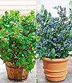 """BALDUR-Garten Topf-Heidelbeere """"Blue Parfait®""""& Topf-Himbeere """"Ruby Beauty®"""" 2 Pflanzen von Baldur-Garten auf Du und dein Garten"""