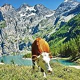 Artland Qualitätsbilder I Wandtattoo Wandsticker Wandaufkleber 70 x 70 cm Tiere Haustiere Kuh Foto Natur C4AJ Kuh vor Öschinensee