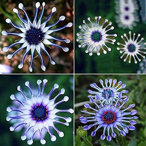 Ncient 50 semi sementi di margherita blu piante perenni semi fiori rari profumati piante per orto giardino balcone interni ed esterni