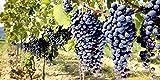Glas - Bild Artland Wandbild Landschaften Fotografie ilfede: Toskanische Weintrauben in verschiedenen Größen