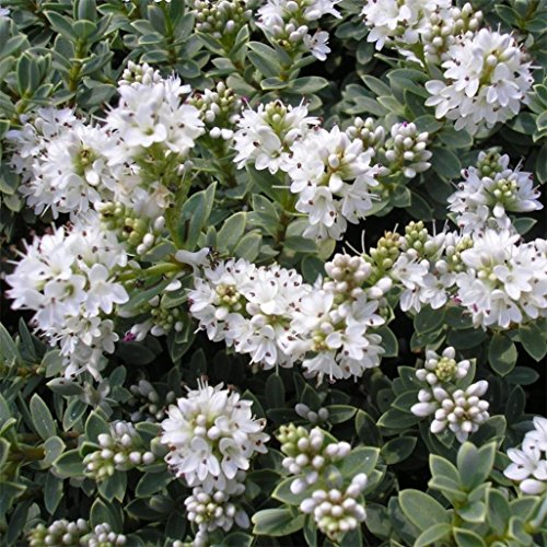 9cm-pot-hebe-pagei-garden-edging-container-ground-cover-shrub-plant-pure-white-flowers