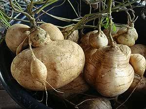 Fagioli dolci biologici di rape messicane Vite rampicante Pachyrhizus Erosus per piantare giardino cortile allaperto Semi di Jicama 15g circa 50