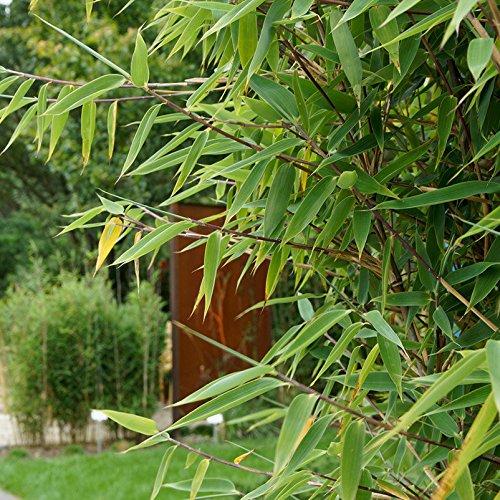 Gartenbambus Gartenbambus Red
