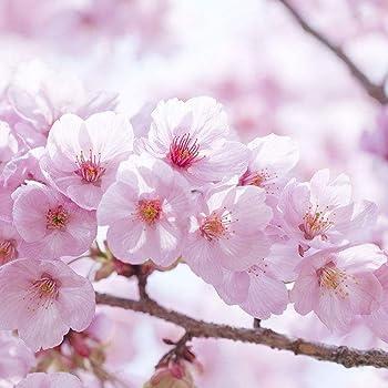 Geant Japonais Rose Fleur De Cerisier Sakura Arbre 20 Graines