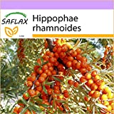 SAFLAX - Olivello spinoso - 40 semi - Hippophae rhamnoides