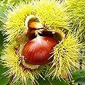 Maronen Esskastanie Belle Epine 60-100 cm von VDG-Obst - Du und dein Garten