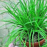 100 PC / Beutel Sterilisation Gemüsesamen Riesen Knoblauch China Grüne Zwiebel Tasty Leek Samen Big Topf Zwiebel Gartenbonsai Pflanzen