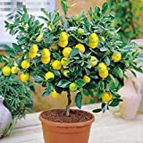Yukio Samenhaus - 10Stück Zitronensamen Zitruspflanzen Obstsamen Baumsamen...