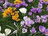 Krokus Zwiebeln (50 Stück) Blumenzwiebeln - MIX grossblumig 6/7 - Prachtmischung - mehrjährig - winterhart - SAISONWARE - NUR KURZE ZEIT ERHÄLTLICH