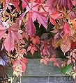 Selbstkletternde Jungfernrebe 40-60cm - Parthenocissus quinquefolia von Baumschule - Du und dein Garten