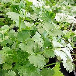 1000 Samen Koriander – Coriandrum sativum, vielseitig verwendbar